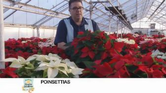 button to YouTube video on Poinsettas for the holidays