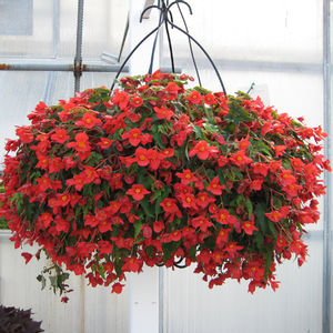 Beaucoup Red Begonia