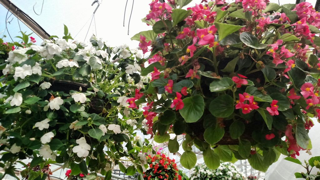 Hanging Flower Baskets Care : Hanging basket care for gorgeous flowers