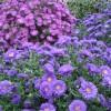 Outdoor Mum Care for Beautiful Seasonal Blooms