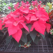 Selecting the Poinsettia for Success