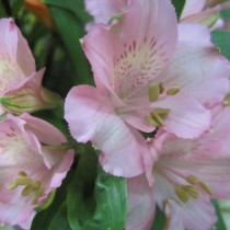 Alstroemeria is Awesome--Just Wait!