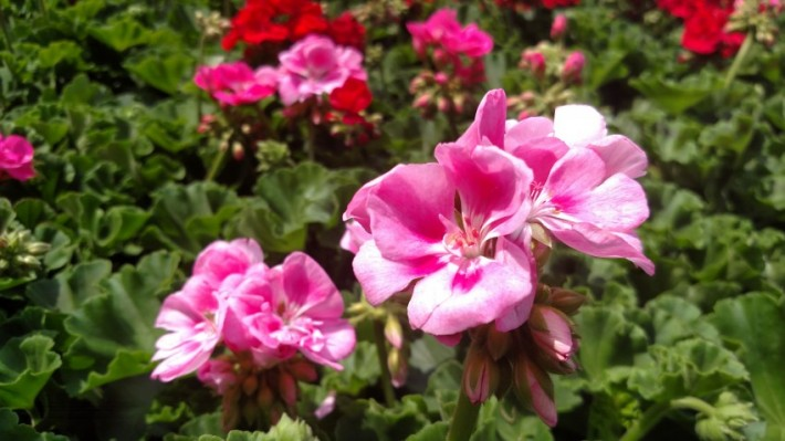 Hanging Basket Care for Gorgeous Flowers