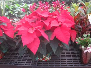 Poinsettias - 2 sizes 002