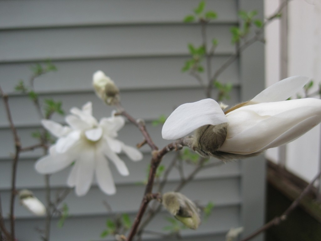 Magnolia Twig