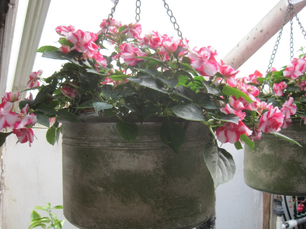 2018 Metal Hanging Basket with striped impatiens