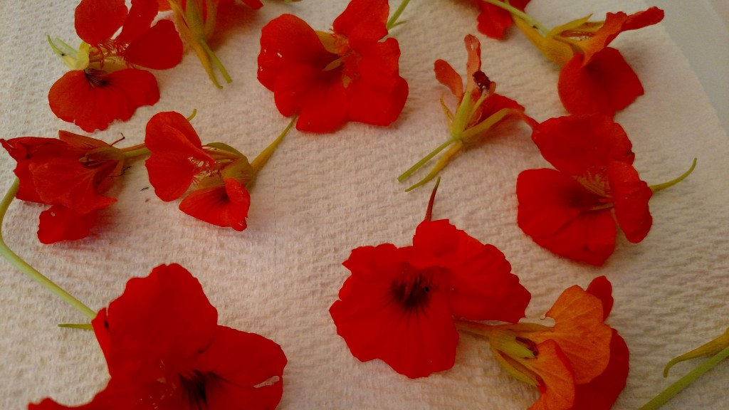Nasturtium blooms drying on paper towels.  It takes about a week to dry sufficiently.