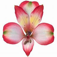 'Revolution' features a halo of red on each white petal.