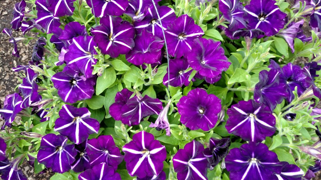 "Petunia Crazytunia ""French Kiss"" has a striking purple flower with white stripes that make star shapes on each blossom. Super hardy and tolerant of dry conditions, this is a thrilling new selection!"