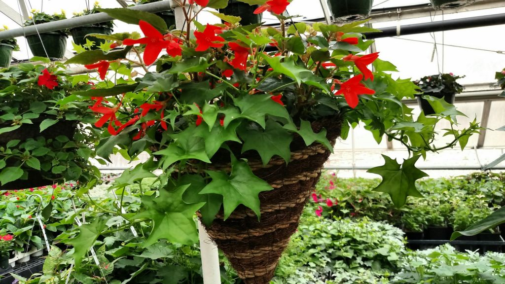 "Begonia ""Encanto Orange"" is a favorite of many for it's striking display of elongated, bright orange flowers. This begonia is planted in a natural cone shaped basket with a trailer of German ivy."