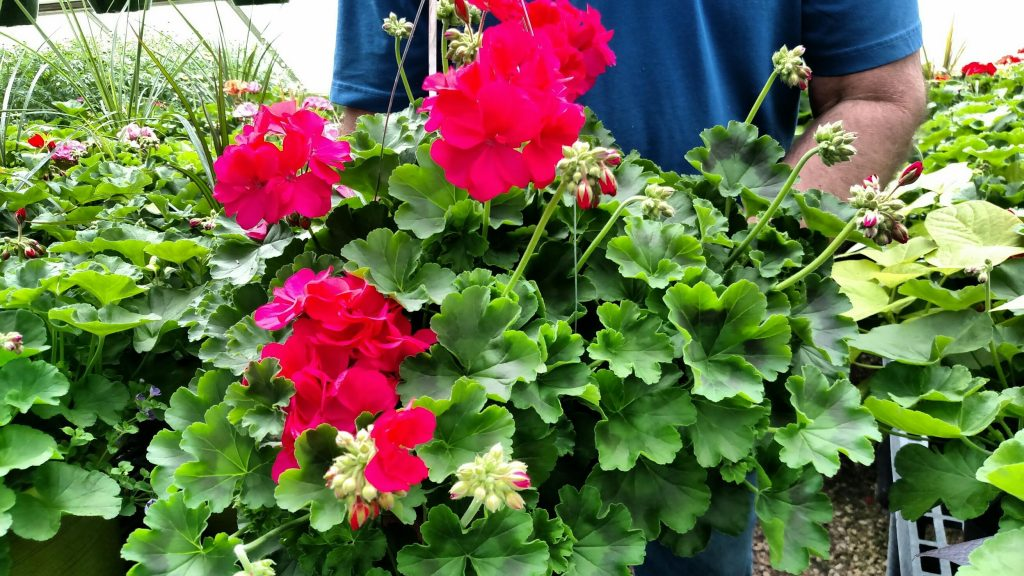 Caliope Medium Hot Pink Geranium+