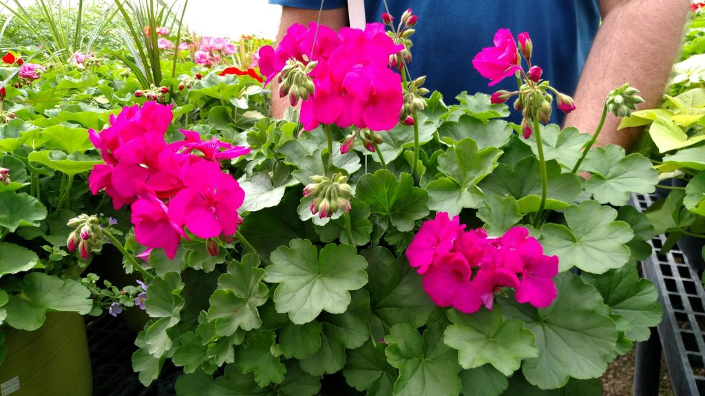 The Caliope series geraniums are so beautiful that these colors almost look like they were enhanced (but they were not). Bright flowers, sturdy foliage and a long-blooming habit make these a favorite for Mother's Day.