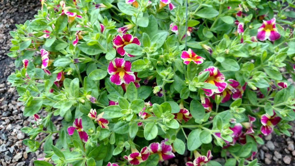 "Calibrachoa ""Grape Splash"" or ""Candy Bouquet"" have a truly unique brushstroke pattern of bright colors on each petal. These are hardy like petunias but do not require deadheading (taking off the wilted petals after blooming)."
