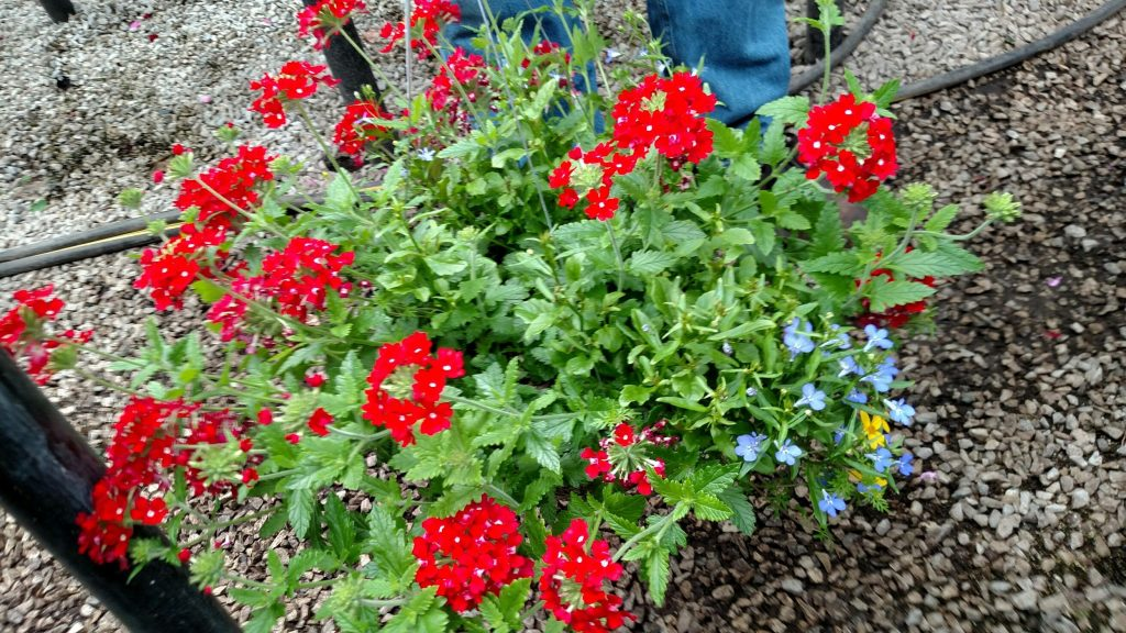 Mixmasters brings us a delightful combination of bidens Sunbeam, Lobelia Waterfall and Verbena Firehouse together in one bright red-yellow-blue combination in this striking hanging basket.