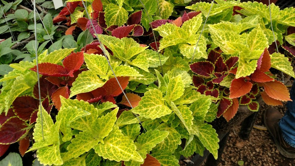 Waukesha Floral always carries great coleus plants, and 2019 is no exception!