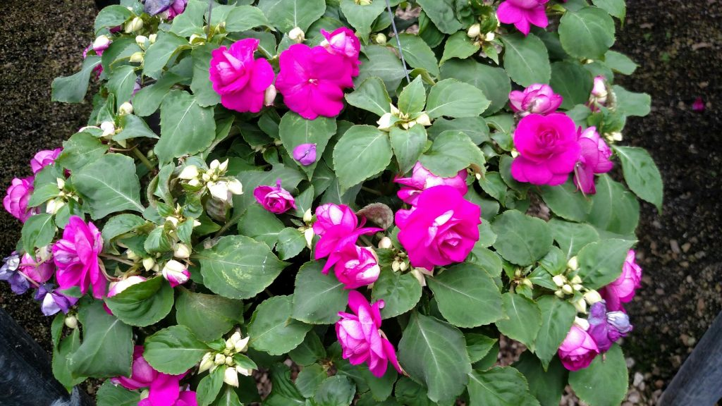 Impatiens are blooming powerhouses, and these double Fiestas are a good example. Fully double, rose-like blooms require no dead-heading maintenance and will reward your shady area with gorgeous blooms until frost.