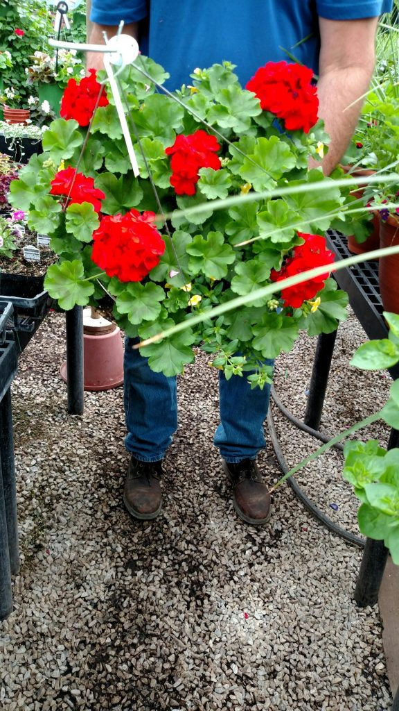 Many many more plants like this gorgeous geranium basket are available. That's just a brief overview of 2019 outdoor flower trends in the greenhouse!