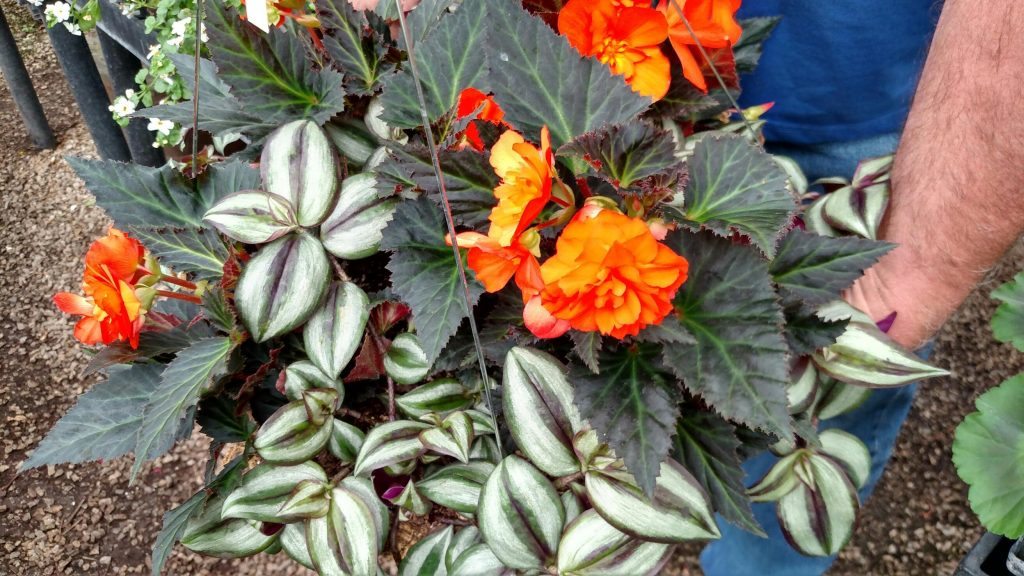 Portofino orange begonias look fabulous against the bronzy green foliage. A wandering jew plant of grey-green striped foliage will be beautiful as a spiller from the side of the pot.