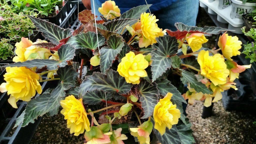 Portofino Yellow Begonia