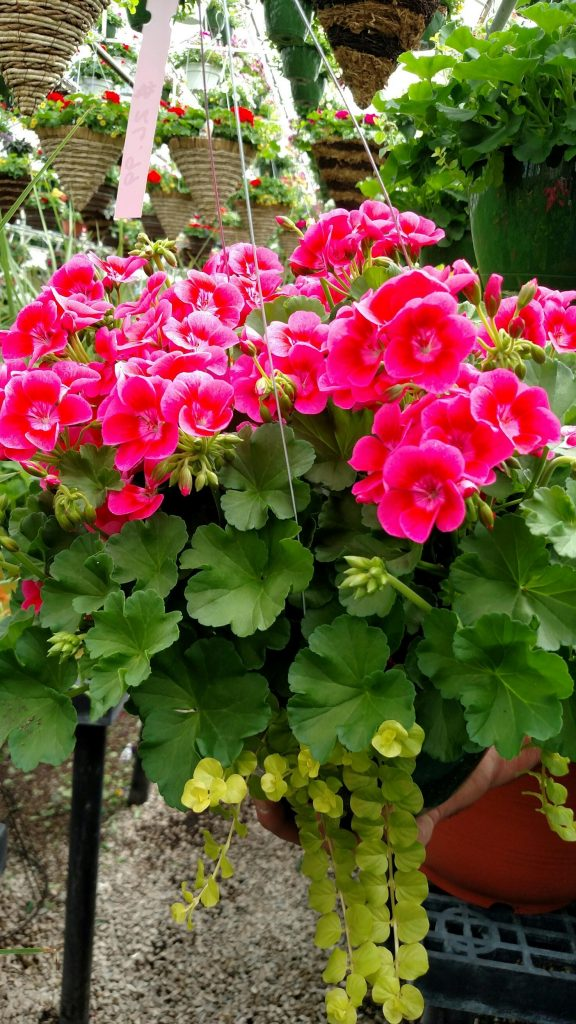 "This geranium is absolutely stunning! ""Pretty little pink splash"" with a bright green rim of lysimachia (creeping Jenny). Gorgeous!"