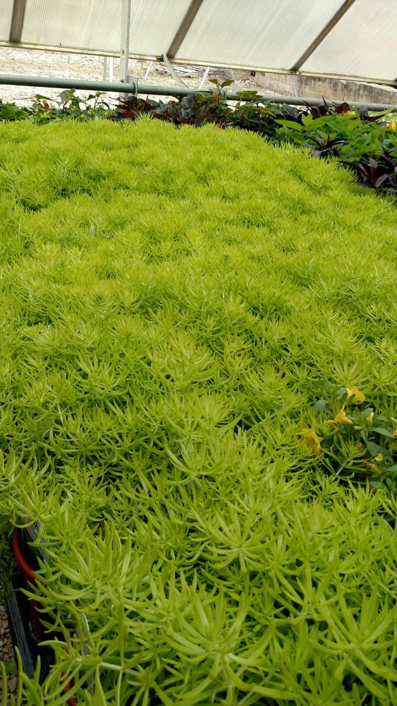 Lemon coral sedum is a ground-hugging plant that is tough and hardy, takes little water and just loves a dose of sunshine daily. Great in mixed pots, too!