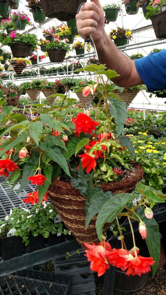 "The semi-trailing begonia called ""belleconia salmon"" has vivid flowers that will look great in a semi-shaded area."