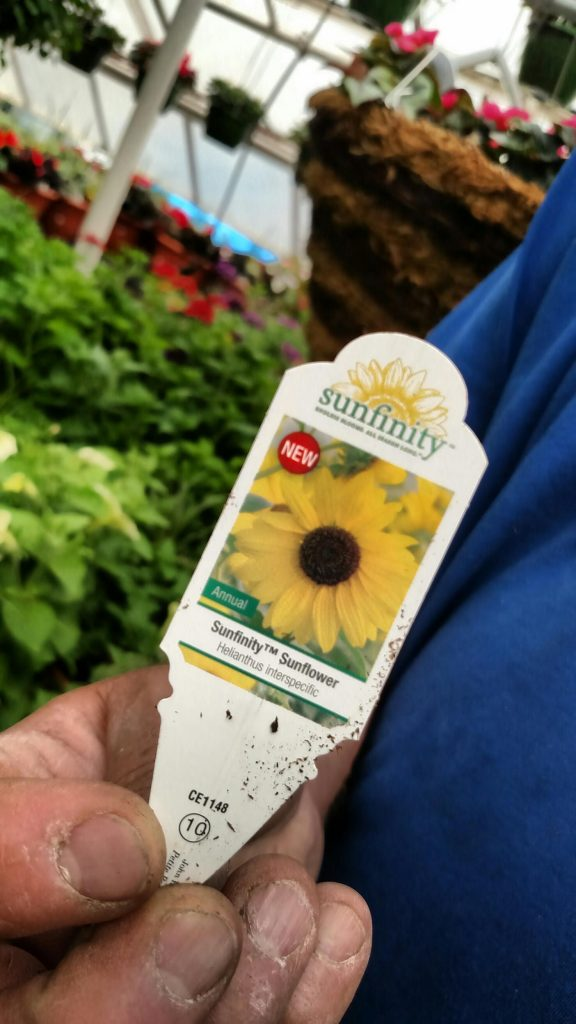 No picture is available yet, but these sunflower plants are in patio pots, sure to be beautiful! Sunfinity sunflowers promise to thrive and bloom all summer long, much longer than the single bloom sunflower.