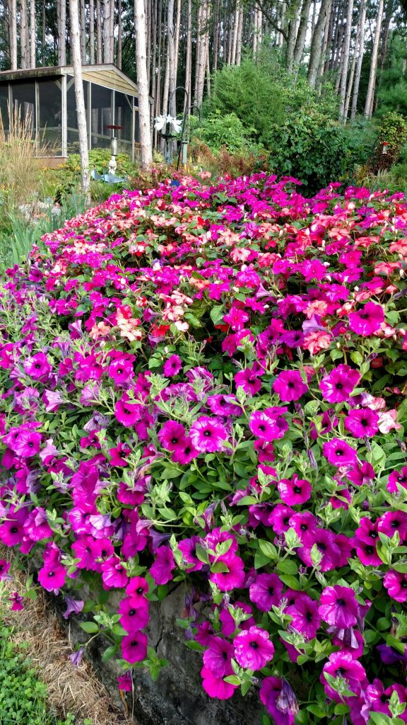 Petunias and impatiens combined in a back planter that gets mostly sun. I was pleasantly surprised that the impatiens could handle the heat.