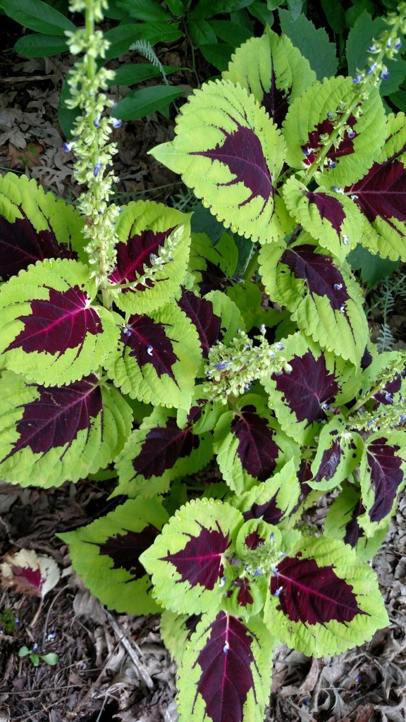 The Kong coleus was beautiful and the deer usually don't nibble.