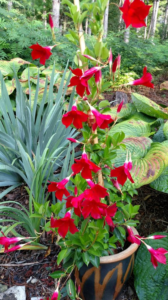https://www.bhg.com/gardening/plant-dictionary/vine/mandevilla/