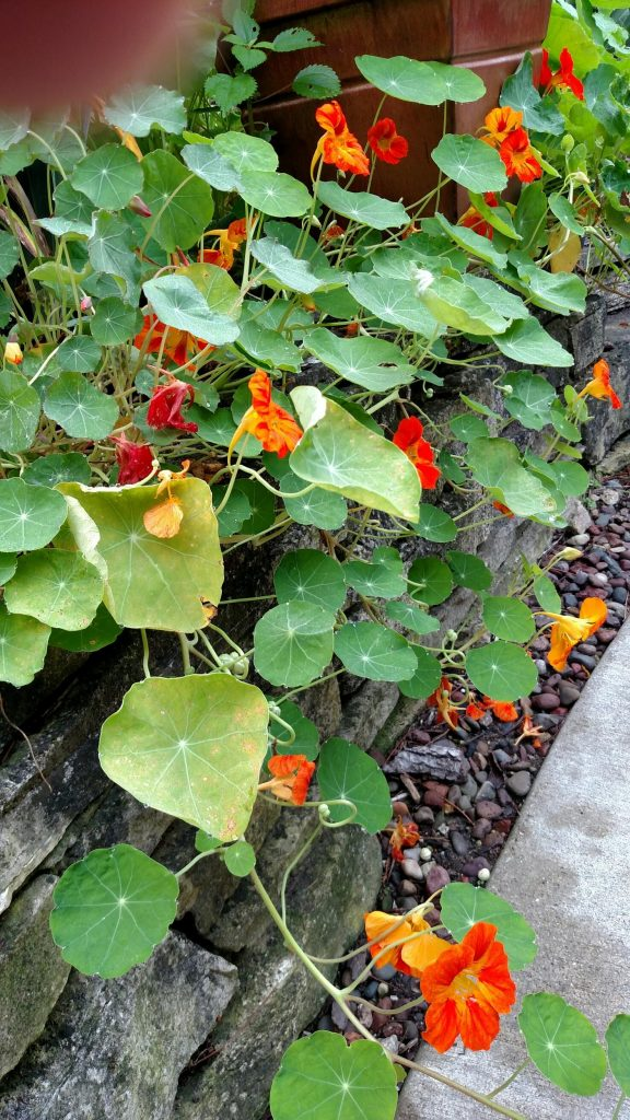 Nasturtium planted on a sunny wall did well and provided flowers for salads.