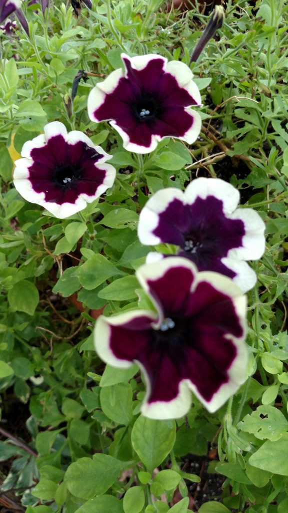 Petunias were exceptionally nice in 2019.