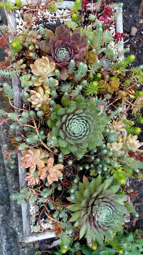 Sedum combination planter did well on stone ledge wall in full sun. Some of the foliage turned different colors, which I like.