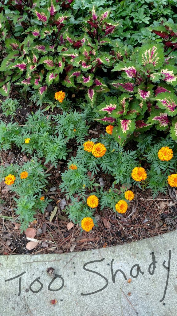 Marigolds planted in shade were thin and did not perform well.