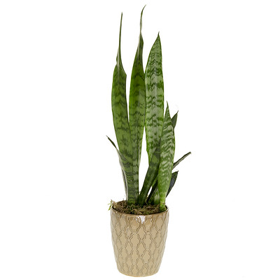 The humble but sturdy Sanseveria (Snake Plant or Mother-in-Law's Tongue). A beautifully tall plant, this also comes in shorter varieties. The plant prefers bright or indirect light, and infrequent watering. The sunnier the location, the more water it requires.