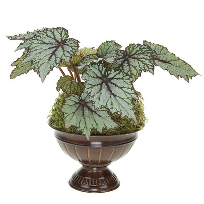 Begonia plants provide that pop of gray and unpredictable leaf shapes of every kind. They are happy as an outdoor plant and would be happy in a bright sunny window indoors.
