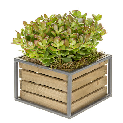 Jade plants love bright light and low watering because its a succulent plant. When leaves begin to wither or dry, its time to water this beauty.