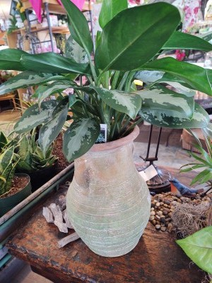 The Chinese Evergreen is a great starter plant. It likes indirect light and is forgiving when you forget to water. This plant prefers to be on the dry side. Small inconspicuous flowers will bloom occasionally. And we love this unusual weathered urn.