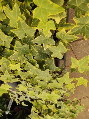 Ivy plants are humidity loving plants that will do well in a bright bathroom or kitchen. They like to be watered moderately but love the humidity on their leaves.