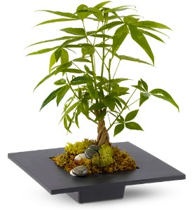 The money tree is a small but sturdy little plant that can grow quickly. It tolerates most light conditions but requires a little more water than a succulent. If you like the look of a bonsai tree, it will do the trick for you at a lower price.