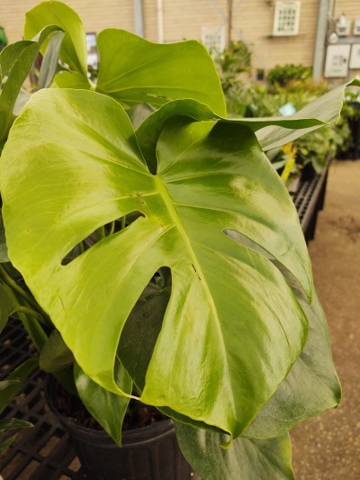 The Monstera, or Swiss Cheese plant, is known for its natural holes in the wide, glossy leaves. It prefers bright, indirect light and should be allowed to try between waterings every 1-2 weeks. Its an architecturally-rich plant for its shape against a wall or window.