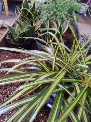 Draceana plants range in size from tabletop to tall, and the long leaves give a nice wild look to your collection of plants.