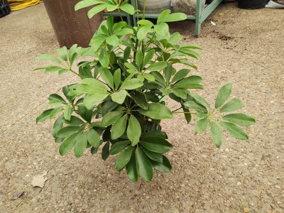 The umbrella tree is a beautiful plant with a rounded leaf texture. Made for being in the home, this plant likes light up and down its leaves and infrequent water.